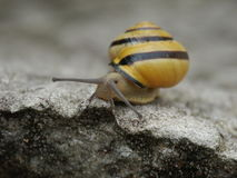Snail. A snail on a stone in the garden Stock Photography