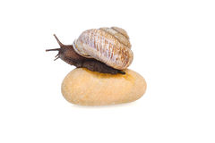 Snail on the stone Royalty Free Stock Images