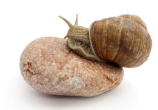 Snail on the stone - isolated Royalty Free Stock Photography
