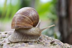 Snail on a stone Royalty Free Stock Photos