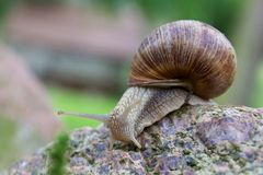 Snail on a stone Stock Images