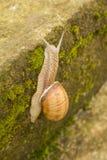 Snail. The stone pavement slowly crawling snail Royalty Free Stock Photography