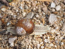 Snail on the stones Royalty Free Stock Images