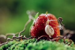 Snail on the Strawberry stock photos