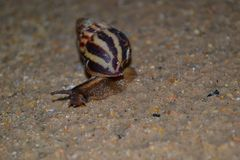 Snail stretching out from striped shell stock photography