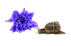 Snail with stripy shell in front of a blue chrysan Stock Image