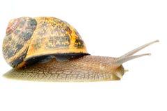 Snail Studio Shot On White Royalty Free Stock Photos