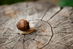 Snail on the stump Royalty Free Stock Images