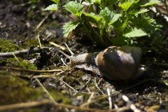 Snail in summer Royalty Free Stock Photo
