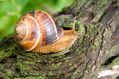 Snail in a Summer Garden 4. Snail in a Summer Garden. Close-Up Stock Images