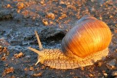 Snail at sunrise Stock Photo