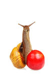 Snail on the sweet cherry Stock Images