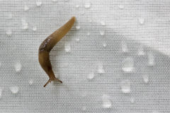 Snail on synthetic fabric with rain drops Royalty Free Stock Image