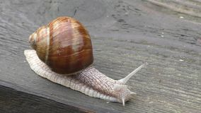 Snail on the table stock video footage