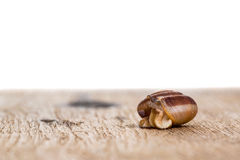 Snail on the table Stock Image