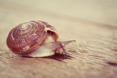Snail on the table Stock Photography