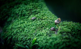 Snail take a walk on the moss Royalty Free Stock Image