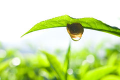 Snail on tea leaf Stock Photography