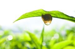 Snail on tea leaf stock photography