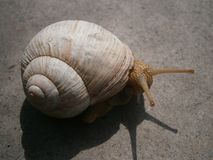 Snail tentacles Stock Photography