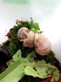 Snail terrarium Royalty Free Stock Photo