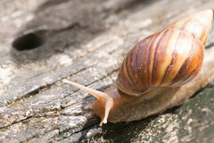 Snail in timber. Life of snails moved awkwardly on the wooden floor Stock Photography