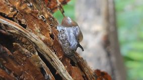 Snail on timber in tropical rain forest. Snail eating on timber in tropical rain forest. after rain stock video