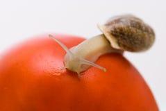 Snail on a tomato. The snail creeps on a tomato Royalty Free Stock Photo
