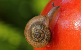 Snail on Tomato Stock Image