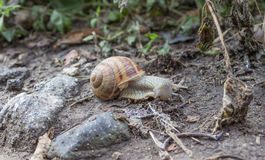 Snail is traveling Royalty Free Stock Photography