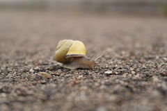 Snail. Travelling with it's portable house royalty free stock photo