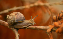 Snail On A Tree Stock Image