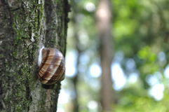 Snail on the tree. With forest background Royalty Free Stock Image