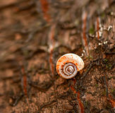 Snail on a tree. Closeup of a snail on a wet tree bark with a rough texture Stock Images