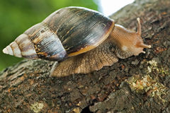 Snail in tree Royalty Free Stock Photos