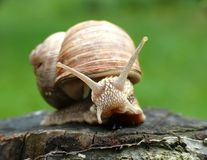 Snail on tree Stock Photography