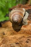 Snail on a tree bark Royalty Free Stock Images