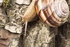Snail on tree bark Stock Image