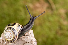 Snail on tree branch Royalty Free Stock Photos