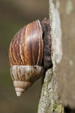 A snail on the tree Royalty Free Stock Photography