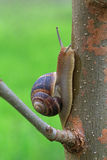 Snail on tree. Close up of snail on tree Stock Photos