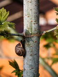 Snail on a tree Royalty Free Stock Images