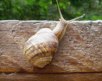 Snail on a tree Royalty Free Stock Photos