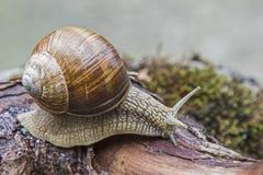 Snail on a  tree trunk Royalty Free Stock Photos