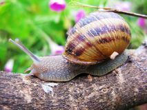 Snail trip. Snail, on trip with his house.  No home-sickness Royalty Free Stock Photos