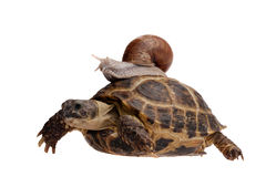 Snail on the turtle Royalty Free Stock Photos