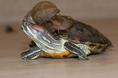 Snail on a turtle stock photos