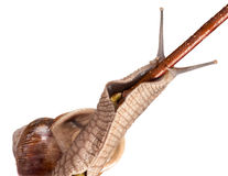 Snail on twig Royalty Free Stock Images