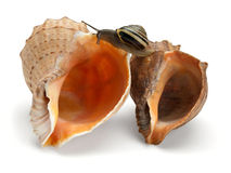 Snail and two sea cockleshells Royalty Free Stock Images