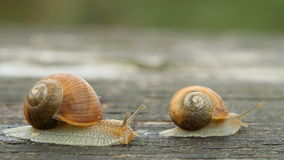 Snail. Two snails on a tree trunk stock video